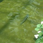 Huge fish in River running through hotel