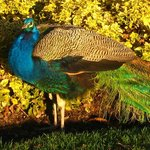 Peacock in nearby Beacon Hill Park