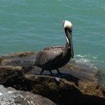 My Friend, The Blonde Pelican