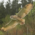 The Himalayan Eagle Owl,,,