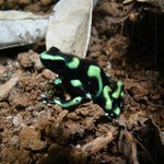 Poison dart frog on Huellas trail at DCL