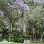  Jacaranda Trees in full bloom - May 2013