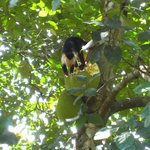 Monkey eating a jackfruit
