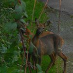 The Deer that you can see on the walks on our site