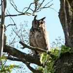 We have an established family of owls in residence