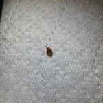 Bed bug I found on the box spring...
