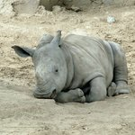 Chopper the baby rhino