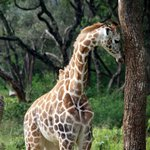 One of the giraffes living at the manor