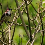 Red Whiskered Bul Bul seen from Sun valley resort