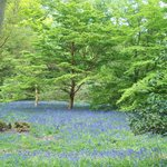 Bluebells at Winkworth