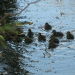 Teal duck & ducklings (10 we think)
