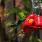 Green-throated hummingbird near the pool