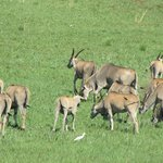 Eland at Rietvlei Nature Reserve