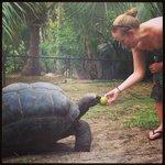 Feeding a giant tortoise