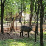 Waterbuck on the Club grounds