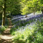  Muncaster bluebells