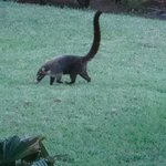 The Coati outside our room.