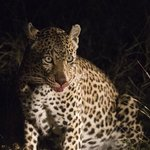 Leopard pausing after devouring kill - night game drive from Nottens