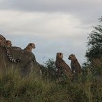cheetahs at Kruger