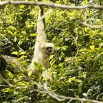 Gibbon at KhaoYai National Park