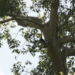 Hornbill at KhaoYai National Park