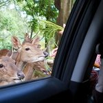 Deer feeding from car