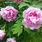 full blossomed peonies - to be found also in the breakfast room