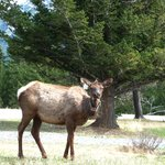 Elk spotted near campground