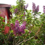 Lilacs and the Old Barn