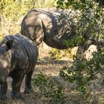 Rhino calf and mother