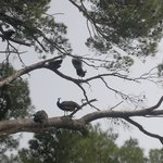 Peacocks/hens in trees