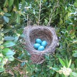 Robins' nest near front door