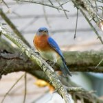 A pair of Eastern Bluebirds are nesting in a box near the office.