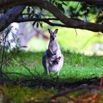 Wallaby and joey in the orchard