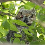 A just out of the nest Great Horned Owl
