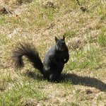 Black squirrel in the garden