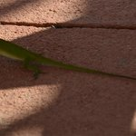 The local wildlife at the pool  in the form of a green lizard.