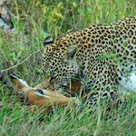 Leopard on a kill