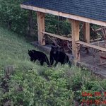 Bears visiting the sunset overlook from our balcony #2