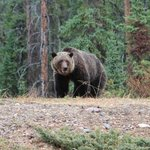 The grizzly bear we watched for a half-hour, just across the road.