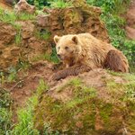 Brown Bear in Cabarceno Park
