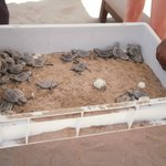 Turtle Eggs hatched on Al Husn beach