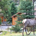 Wildlife roam among the cute Beckers cabins.