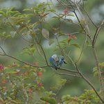Blue-Gray Tanager, behind our room
