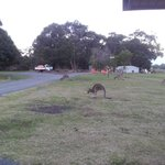 plenty of kangaroos about the park