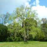 Liriodendron  -Tulip tree on estate