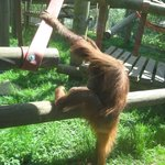 Orang-utan at Monkey World