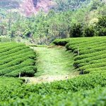 Tea plantation - nearby attraction.