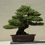 One of the oldest bonsai in the collection