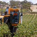 2013 grape harvest in our vineyard.